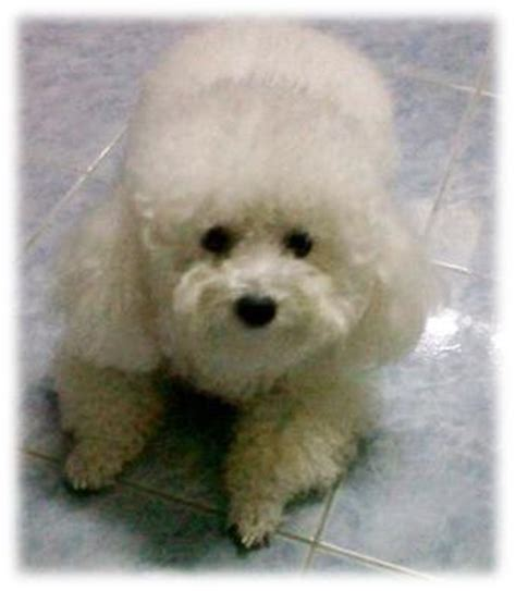 pictures of different types of poodles the poodle is a breed of dog the poodle is a breed of dog