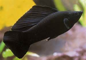 Black Molly   Aquarium Wiki