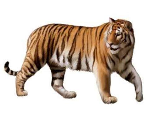 wallpaper harimau biru vektor hewan vektor gratis download gratis page4