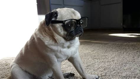 goggles for pugs psbattle a pug wearing glasses photoshopbattles