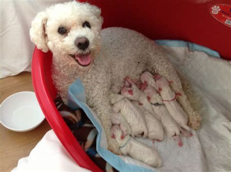 6 in 1 puppy bichon frise puppies callander perthshire pets4homes