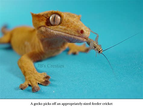 crested gecko 2 bb thinglink