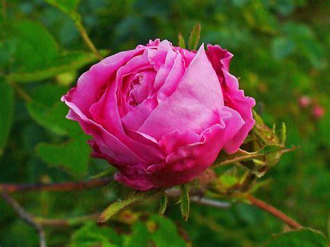 State Flower file rosa centifolia 002 jpg wikimedia commons