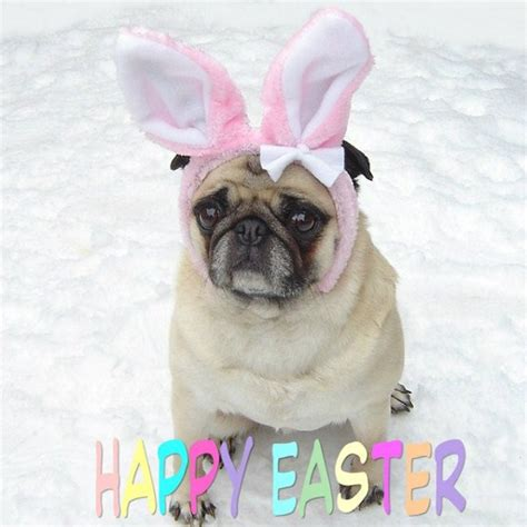 pug bunny pug easter bunny rabbit pugs photo 33796286 fanpop