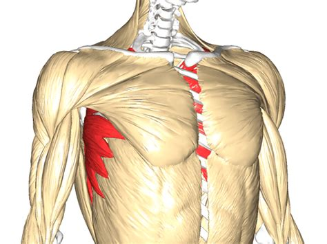 muscoli sedere gran dentato o dentato anteriore anatomia e funzioni la