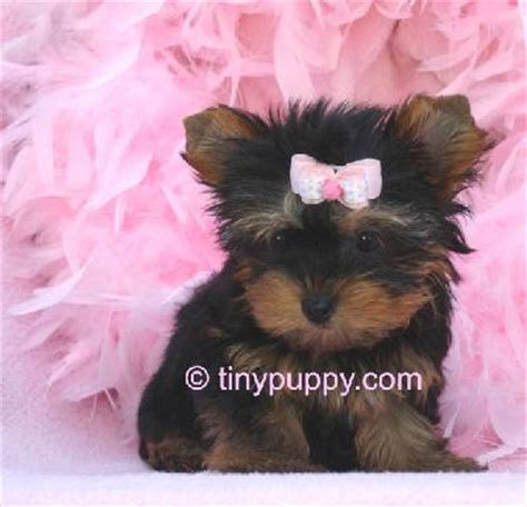 yorkie baby pictures yorkies images baby yorkie wallpaper and background photos 14941511