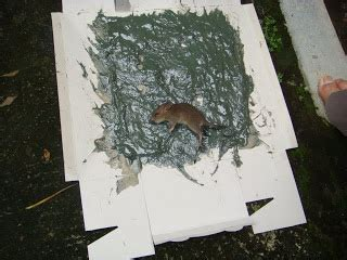 cara membuat perangkap tikus terbaik cara menghapuskan tikus terbaik masalah tikus
