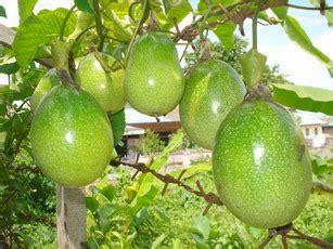 Bibit Markisa Medan buah markisa buahku