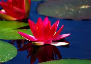 Crimson Lotus Flower Lotus Flowers Nature Background Wallpapers On