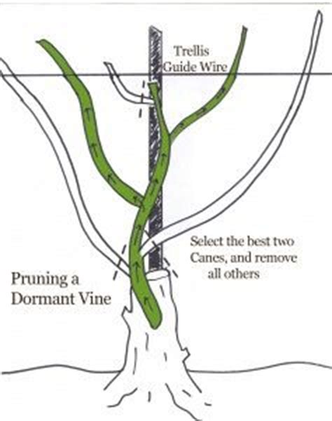 17 best ideas about grape vines on pinterest grape plant growing grapes and vineyard