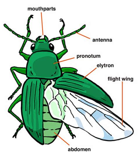 insectanatomy free insect animal pictures gallery beetle wings anatomy