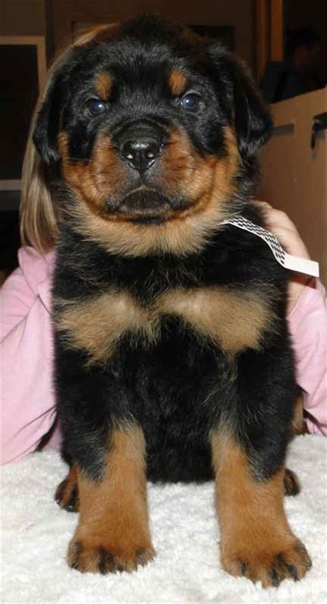 rottweiler puppies for sale in missouri ballardhaus rottweilers rottweiler breeders rottweiler puppies german