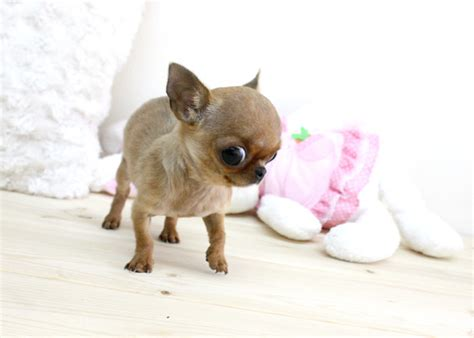 free teacup chihuahua puppies coco micro teacup chihuahua boutique teacup puppies flickr