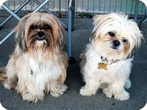 shih tzu rescue los angeles timmy waldo adopted los angeles ca shih tzu lhasa apso mix