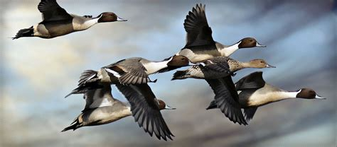 how to your to duck hunt home duck new mexico sport and recreation
