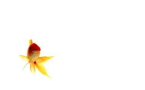 goldfish wallpaper goldfish wallpapers wallpaper cave