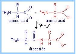 dipeptide diagram board question 86385 the 100 hour board