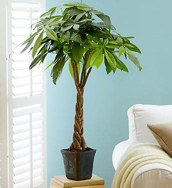 large braided money tree indoor office plants by gardening naturally with claudia holiday gifts ideas for