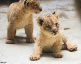 Baby lions balls of cuteness by woxys on deviantart