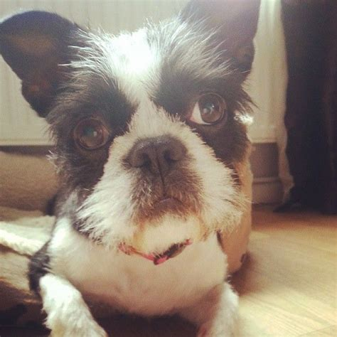 boston terrier and shih tzu boshih boston terrier shih tzu for sale chorley lancashire pets4homes