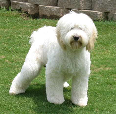white labradoodle puppies white labradoodle puppies www pixshark images galleries with a bite