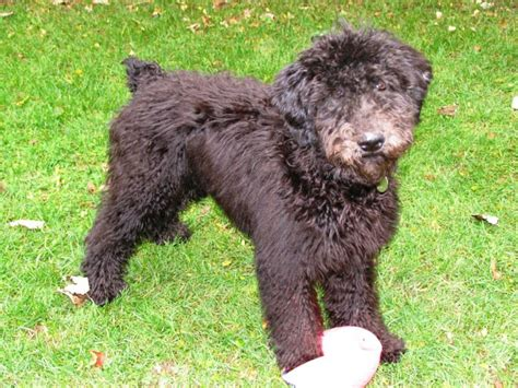 doodle treasures puppy mill images grown whoodles breeds picture
