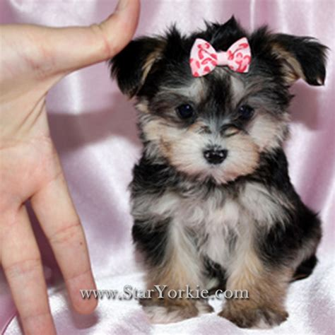 maltese yorkie teacup pin teacup yorkie maltese mix image search results on