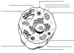 animal cell labeling worksheet worksheets reviewrevitol