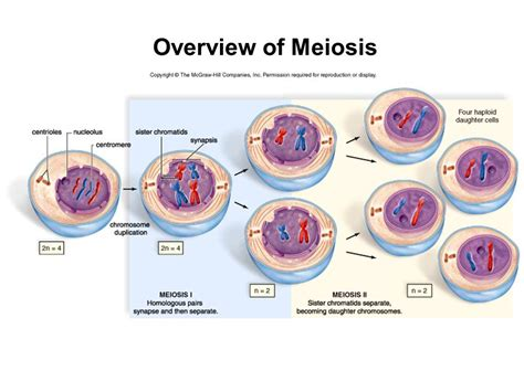 Meiosis and Sexual Reproduction Chapter ppt video online ... Meiosis Stages
