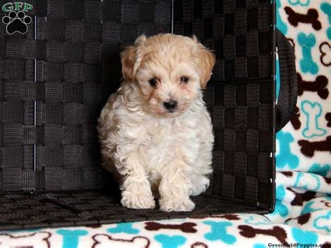 morkie poo puppies for sale 1000 images about morkie poo on spaniels to find out and puppys