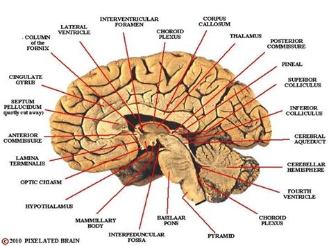 midsagittal section of brain what is the function and location of the thalamus quora