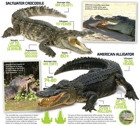 what color are alligators crocodile american alligator pencil and in color