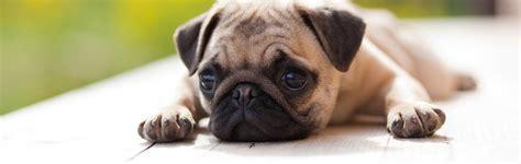carolina pugs pug rescue of carolina inc