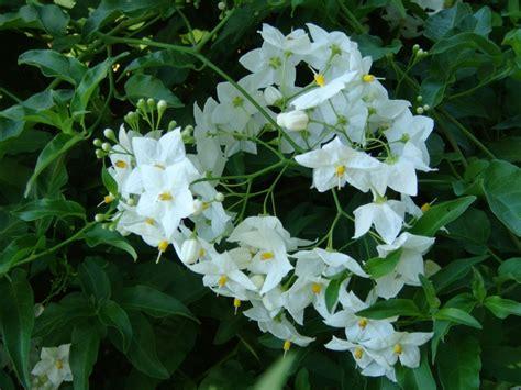 Blue Jasmine solanum laxum wikipedia