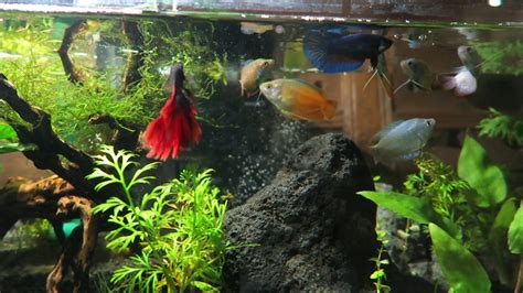 aquascape betta dwarf gourami betta fish tank aquascape feeding time