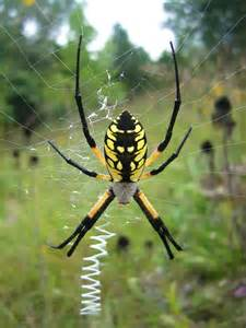 Garden Spider Zigzag Web Happy Spider Gardens And Insects