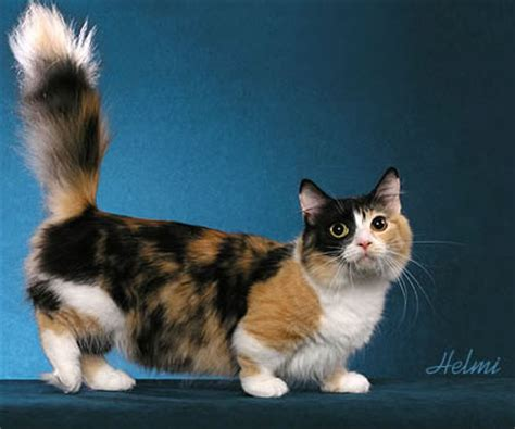 Blog About Cats: Munchkin cats