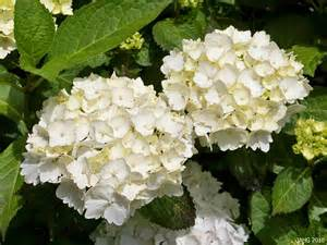 this pure white hydrangea macrophylla is probably