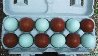 barred rock egg color the black copper marans chicken breed information