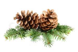 two pine cones with branch on a white background stock