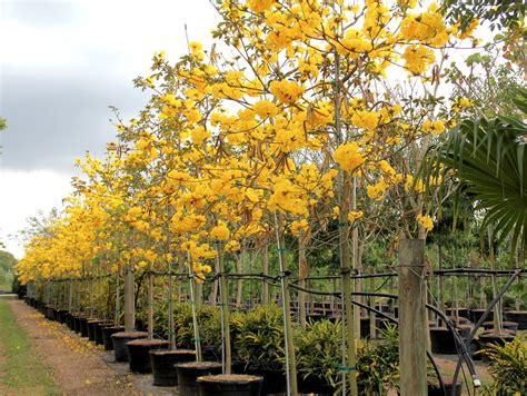 Pohon Tabebuya Trembesi Mahoni jual jual pohon tabebuya