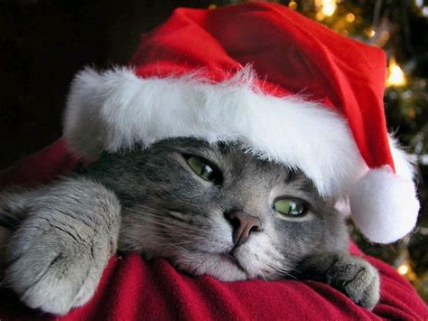 images of christmas cats free desktop wallpaper for cat lovers free christmas