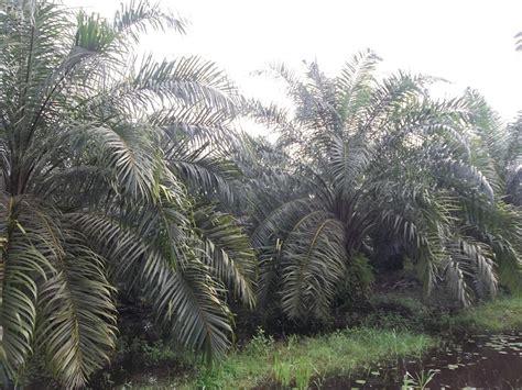 Minyak Kelapa Curah panduan budidaya kelapa sawit agrokompleks mmc