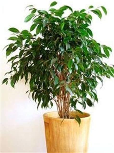 Potatura Ficus Benjamin by Vestiti Da Battesimo Per Bimbo Potatura Ficus Benjamin