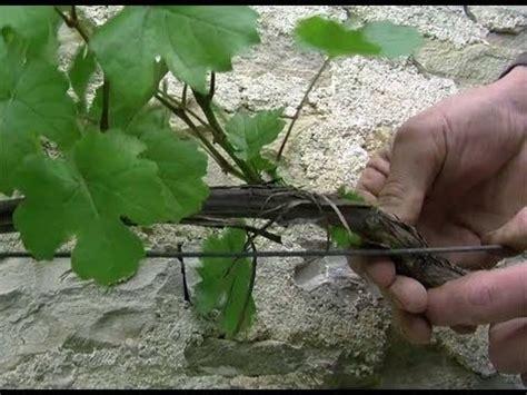 comment tailler une treille de raisin tailler en vert une vigne de treille