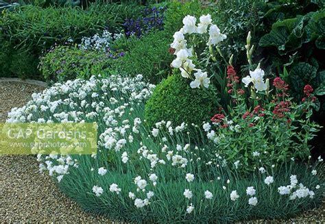 Ruber Box gap gardens dianthus mrs sinkins white bearded iris