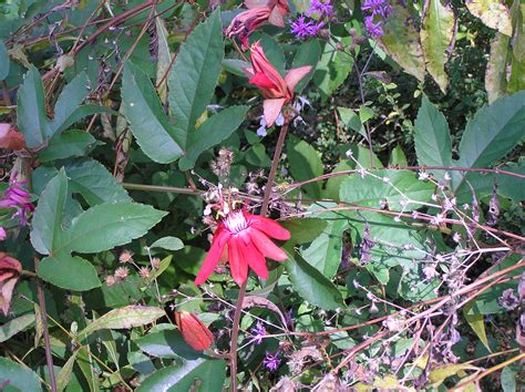 perennial vines to grow in north florida tallahassee com community blogs