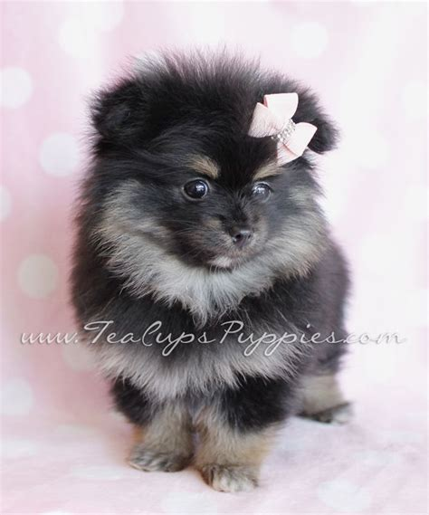pom pom pomeranian for sale pom pics pomeranians for sale pomeranian puppies for sale teacup pomeranian