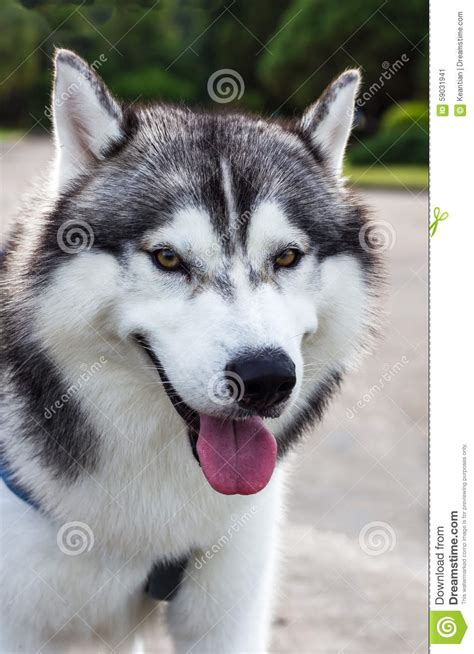 husky house dog siberian husky dogs in thailand stock image image of