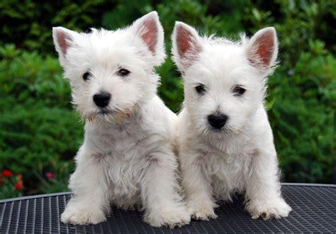 westies dogs file westie pups jpg